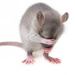 ネズミは駆除 火事